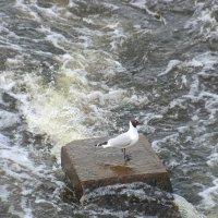 Чайка и река... :: Владимир Павлов