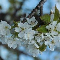 Весенние деревце :: Владимир Скляр