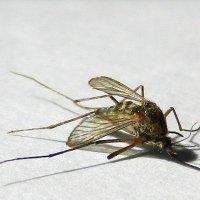 Комар :: Алексей Масалов