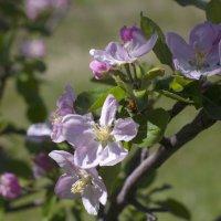Яблони цветут :: Александр Грищенко