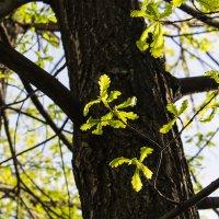 """Дубовые листья, """"ясельная группа""""... :: Надежда"""
