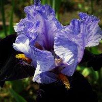 Цветок ириса :: Владимир Бровко