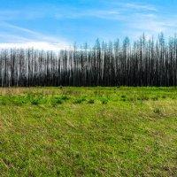 Лес после пожаров , год спустя. :: Дмитрий Янтарев