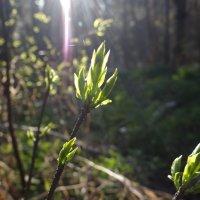 весенний лес :: Виктория Скупова