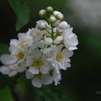 Этот цветущий Май... :: Татьяна Аистова