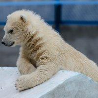 Медвежонок :: Alexey Bogatkin