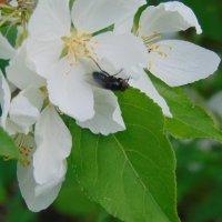 Яблони в цвету! :: Vladikom