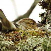 самка зяблика на гнезде :: Михаил Жуковский