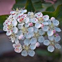 цветение вишни :: Василий Платонов
