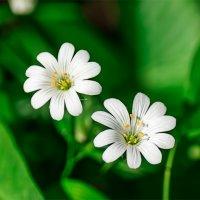 Полевые цветы :: Анатолий Клепешнёв