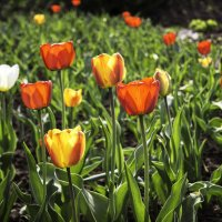 Тюльпаны :: Андрей Качин