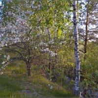 Яблоня в цвету :: Андрей Дворников