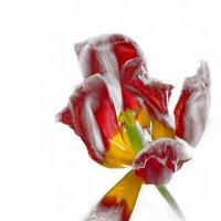 Тюльпан на белом :: Светлана Л.