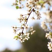 цветущая вишня :: Татьяна Киселева