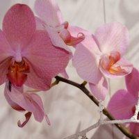 Орхидейка :: Наталия Лыкова
