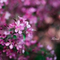 Яблоневый цвет :: Юлия Скороходова