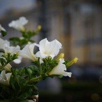 Городские цветы :: Галина Грудникова