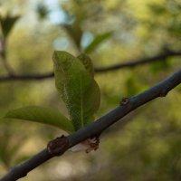 Пробуждение листвы :: Ольга Антонюк