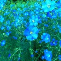 Лен цветет :: Serg