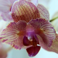 орхидея :: Oksana Pidhurska