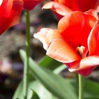 Тюльпаны Калининграда :: Анастасия Едакова