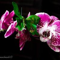 Орхідея :: Рома фото Сучинський