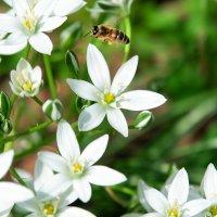 летит пчела :: Сергей Боровков