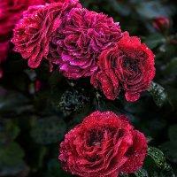 Розы :: Nn semonov_nn