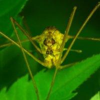 Комар-долгоножка :: Aleksey Bibin
