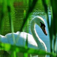 Белый красавец :: Андрей Куприянов