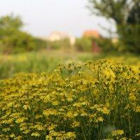 Мое ромашковое поле :: Нилла Шарафан