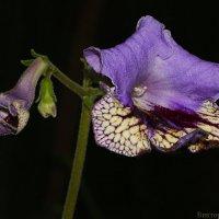 streptocarpus :: Laryan1