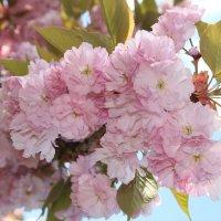 Цветение Сакуры во дворах Ужгорода :: Виталий фото