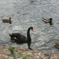 Чёрный лебедь на пруду :: Татьяна Черняева