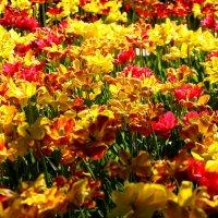 Тюльпаны :: Денис Матвеев