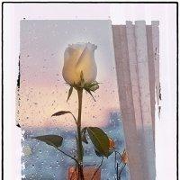 Роза на окне. :: Лилия *