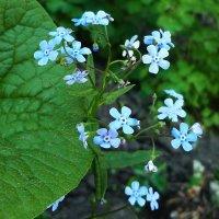 Синие цветы :: юрий Амосов