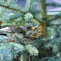 Гнездо серых дроздов. Их первый температурный рекорд +33! :: Виталий Половинко