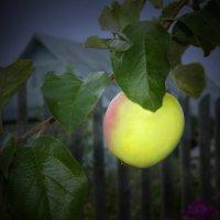 молодильное яблоко :: Валерий Талашов