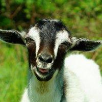 разговорчивый козлик! :: ольга кривашеева