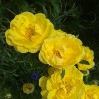 желтая вьющая роза :: Юлия Закопайло