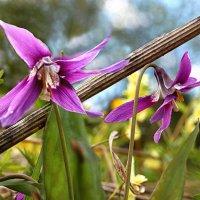 Чем не орхидеи?))) :: Ольга Боронина (Белова)
