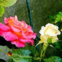 две розы :: Александр Корчемный