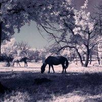 Инфракрасные лошадки :: Alexander Varykhanov