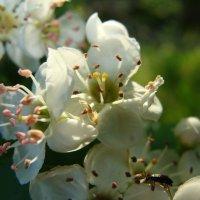 цветок боярышника :: Наталья Меркулова