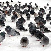 Местные пингвины :) :: Kliwo