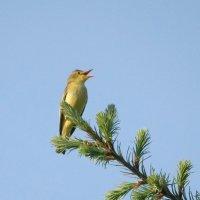 Пересмешка зелёная :: Irina -