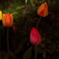Розовый тюльпан :: Татьяна Ким