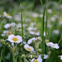 клубника в цвету :: Олеся Морозова