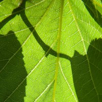 Молодая листва :: Диана С